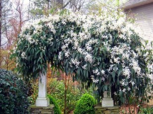 Beautiful Evergreen Vines Ideas For Your Home05