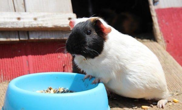 Marsvin och hennes matare med mat