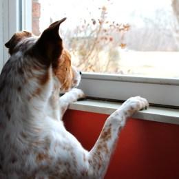 Hund schaut sehnsüchtig aus dem Fenster