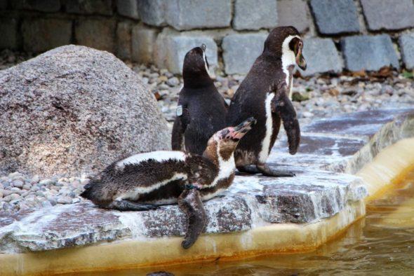 Drei Pinguine am Teich