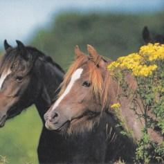 Konji-pari_002