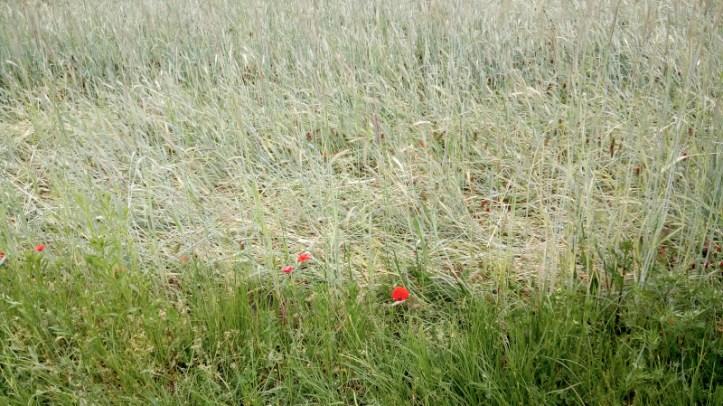 Žitno polje z makom