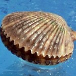 Scalloping Homosassa