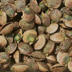 cooler full of homosassa scallops