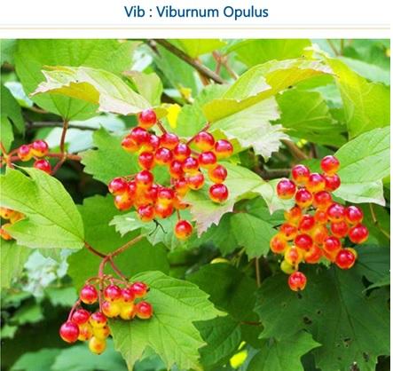 Viburnum Opulus dysmenorrhea