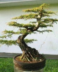 Inspiring Bonsai Tree Ideas For Your Garden 29