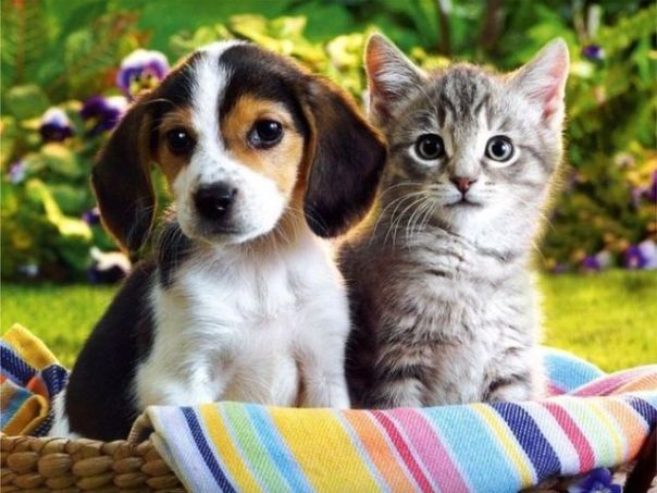 Dogs-and-Cats-dogs-vs-cats-13630437-639-480