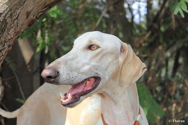 ಮುದೋಳ ನಾಯಿ Mudhol hound