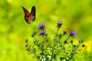 ಚಿಟ್ಟೆ, Butterfly