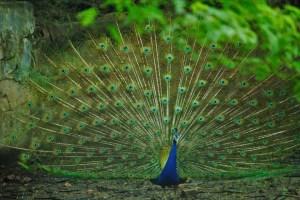 ನವಿಲು, Peacock