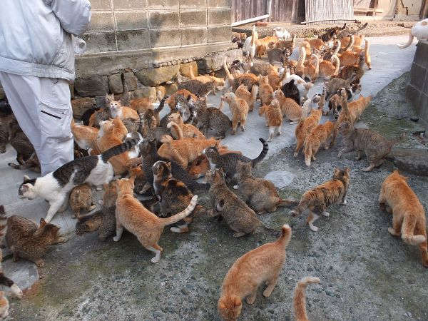 ಅವೊಶಿಮಾ cat island