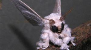 ತುಪ್ಪಳದ ಚಿಟ್ಟೆ, Poodle Moth