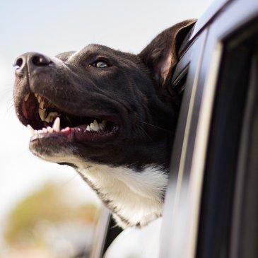 Wagenziek bij honden