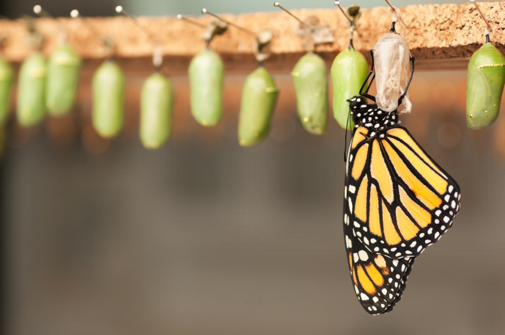 Monarch butterfly coming out of cocoon