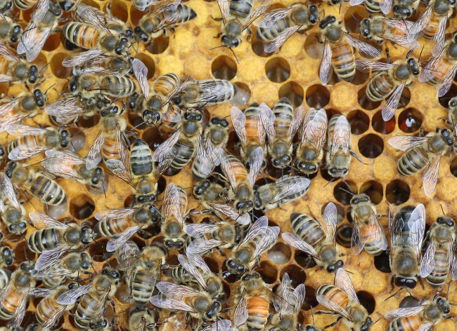 Why are bees different colors? Because they have different fathers.
