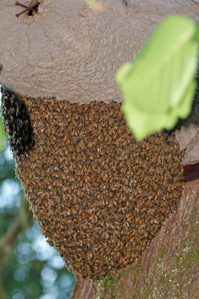 To prevent swarming, you must plan in advance of the bees.