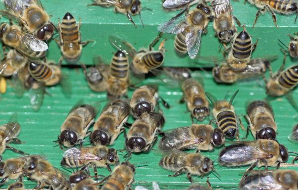 Honey bee drones being shown the door.