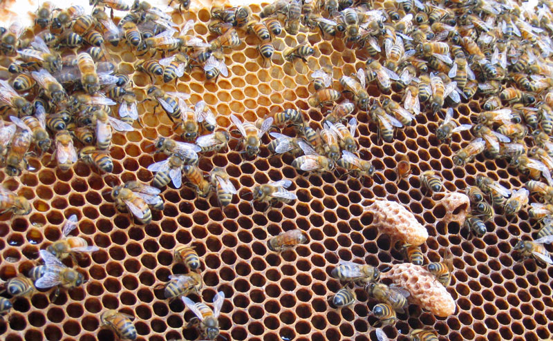 Why Do Brood Combs Turn Black Honey Bee Suite