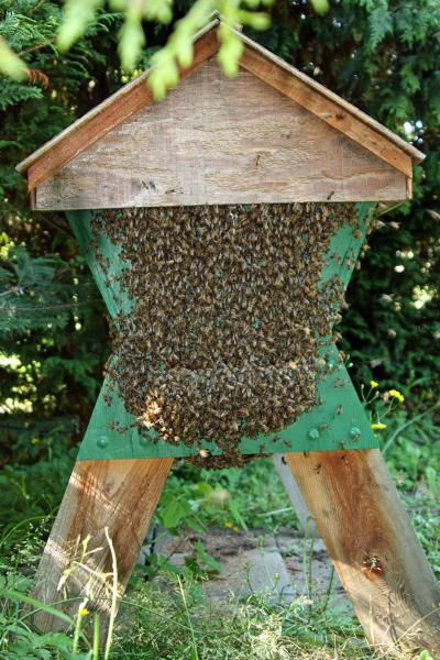 Bees bearding on a top-bar hive near Olympia, WA. Rusty Burlew.