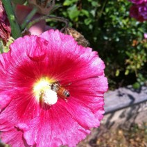 Bee on hollyhock by Marcee Pfaff.