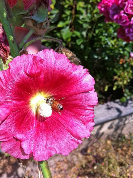 Bee on hollyhock by Marcee Pfaff.