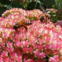 Bees in sedum by Marcee Pfaff.