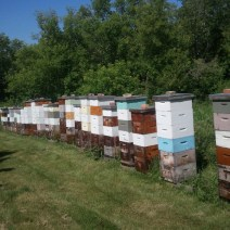 Jeff Paulsen's hives in Manitoba in early July.