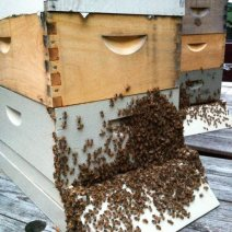 """""""My bees 'hanging' out on the porch on a hot summer evening"""" by Debbe Krape, Delaware."""