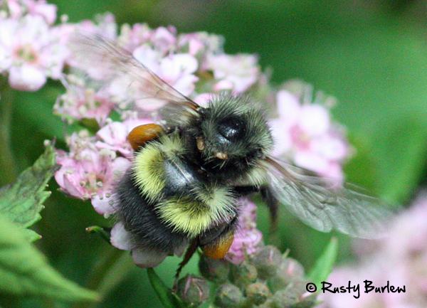 Bumble bee 1 June 19 Olympia