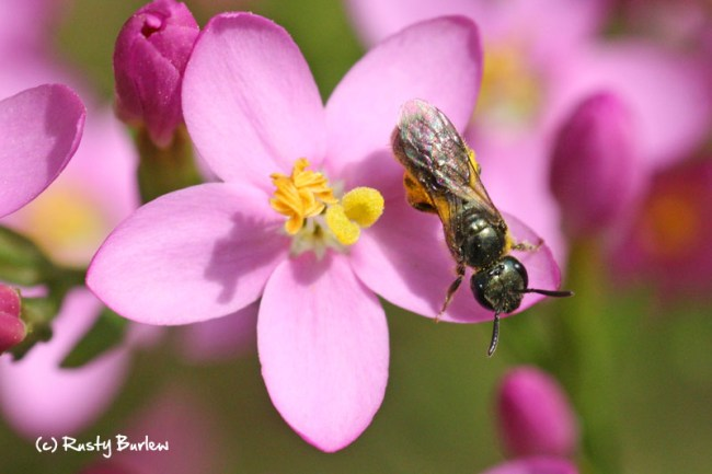 European centaury with small native bee.