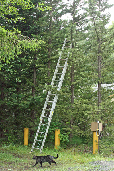 A big ladder for a skinny tree.