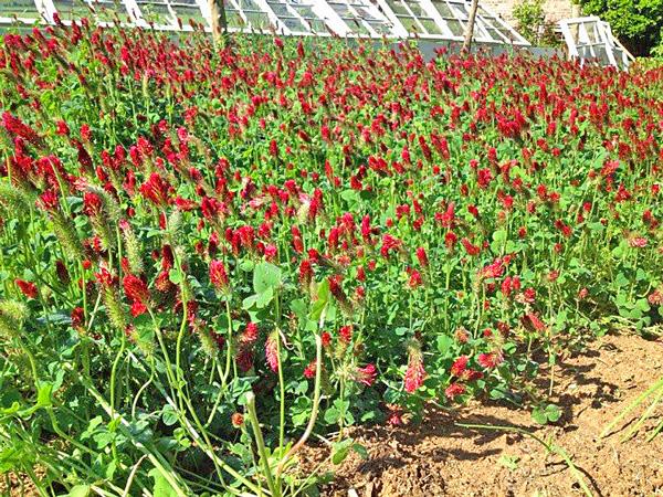 Field of crimson clover.