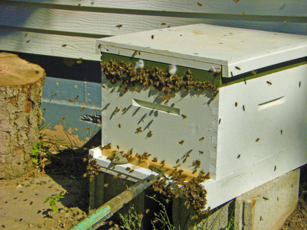 This honey bee hive is being attacked by robbing bees. Here they are trying to find their way in just below the hive cover.