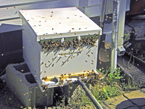 Robbing bees on a mission, trying to break into a hive.