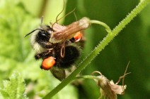 Long tongued bumble bees can reach into trumpet-shaped flowers.