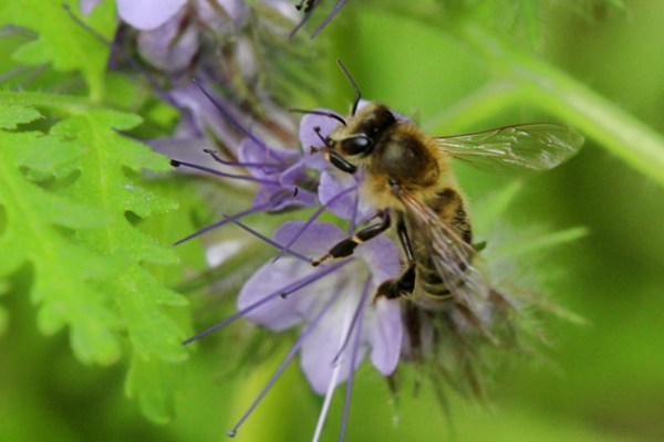 A honey bee rests her wings while she sits on a flower. Foraging honey bees make a characteristic buzz, pause, buzz, pause as they travel from bloom to bloom, but that doesn't mean they're angry.