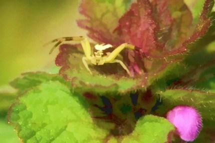 Tiny spider in deadnettle.