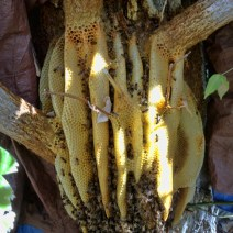 A three-inch band of propolis surrounded each attachment to the tree. © Naomi Price.
