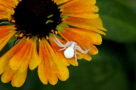 Crab spider on sneezeweed.
