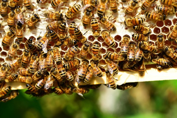 Honey bees on a frame. Honey bees build comb and fill it when they are ready, not before.