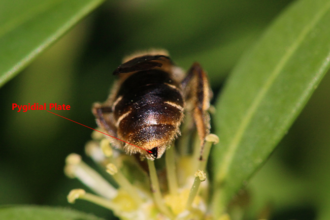 Andrena-pygidial-plate