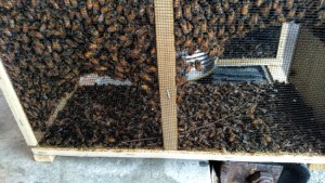 Bee-package-Charles-R