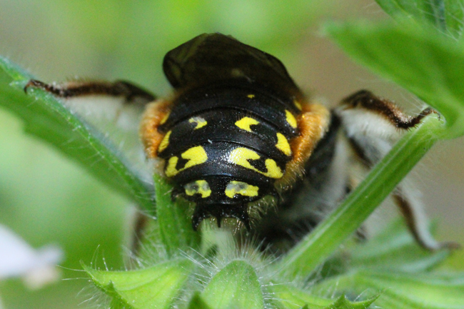 These bees have spines for attacking intruders and gold fringe along the abdomen. © Rusty Burlew.