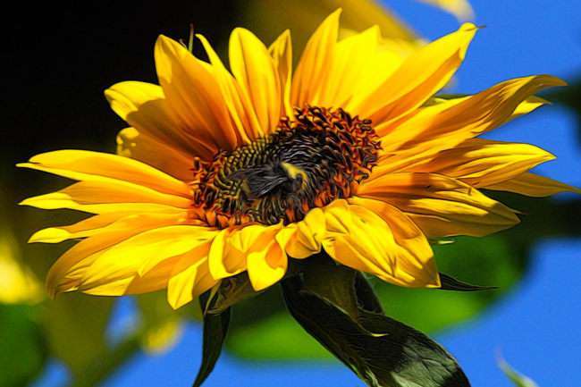 Bumble-on-sunflower-Rusty-Burlew