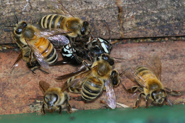 Taking-down-a-hornet: a result of bee-on-bee-robbery