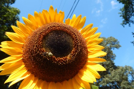 Sunflower with bees. © Vincent Busche.