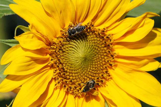Sunflower-and-leafcutters