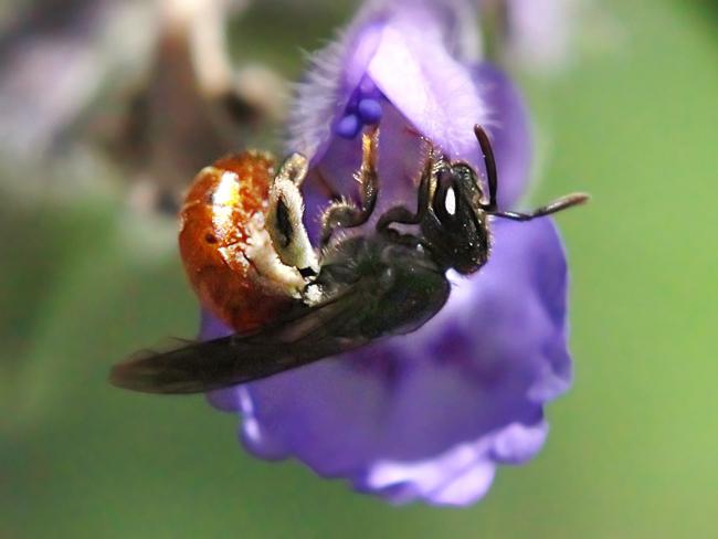 Lassioglossum-ovaliceps