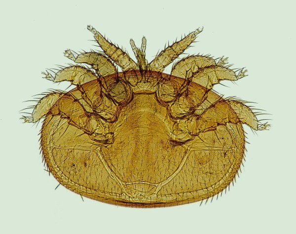 Photo of a large varroa mite showing legs and mouthparts. For now we must hold the lithium.