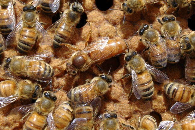 Queen-bee-on-comb